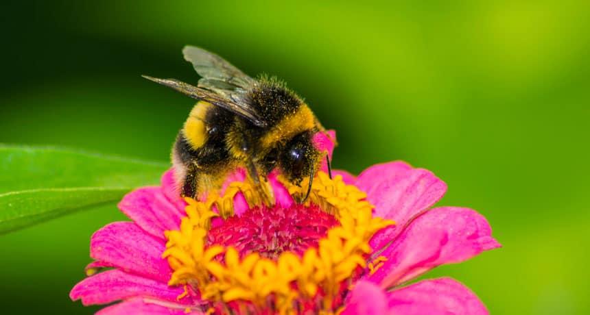 čebela-drevesnica
