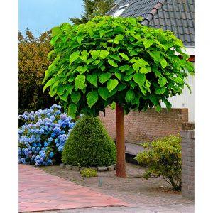 Katalpe so izjemno priljubljena okrasna drevesa.